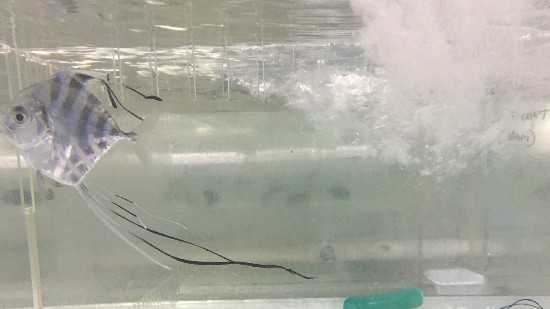 Threadfin Fish