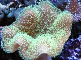 Umbrella Leather Green Polyp - Australia