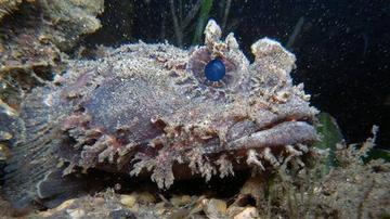 Toadfish: Orange - Atlantic