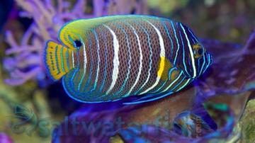 Blueface Angelfish: Changing