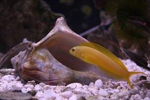 Canary Blenny: Yellow - Fiji