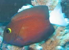 White Tail Yellow Eye Tang  - Hawaii