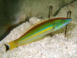 Pencil Wrasse: Green - Hawaii