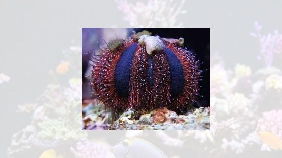 Royal Urchin
