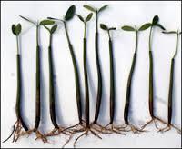 Mangrove Seed Pod