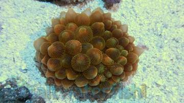 Rose Bubble Tip Anemone: Super