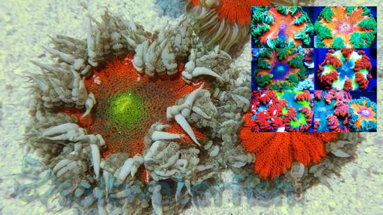 Flower Anemone: Red/Orange: Super - Florida