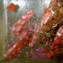Pistol Shrimp: Red