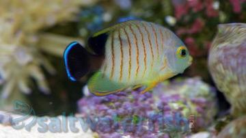 Eibli Angelfish - South Asia
