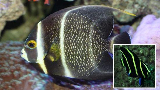 French Angelfish: Changing