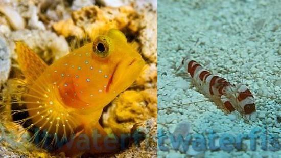 Yellow Watchman Goby & Randalli Shrimp DUO