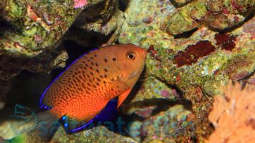 Rusty Angelfish