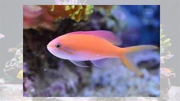 Carberryi Anthias - Indian Ocean