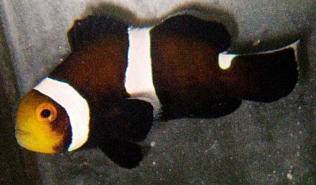 Mocha Ocellaris Clownfish - Captive Bred
