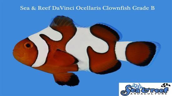 Snowflake Ocellaris Clownfish DaVinci - Captive Bred Grade B