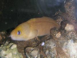 Dwarf Yellow Eel - Hawaii