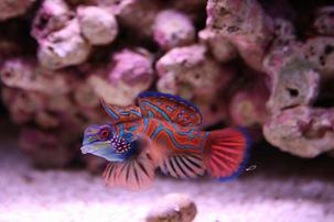 Red Mandarin Goby