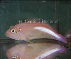 Arc Eye Hawkfish - Central Pacific