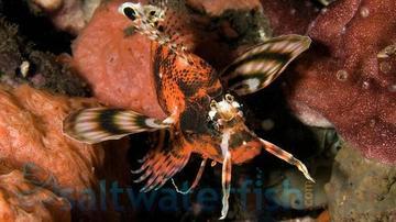 Fu Manchu Lionfish - Venomous