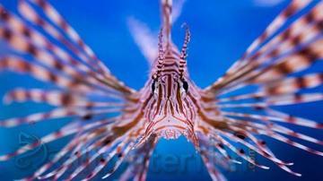 Volitan Lionfish: Colored