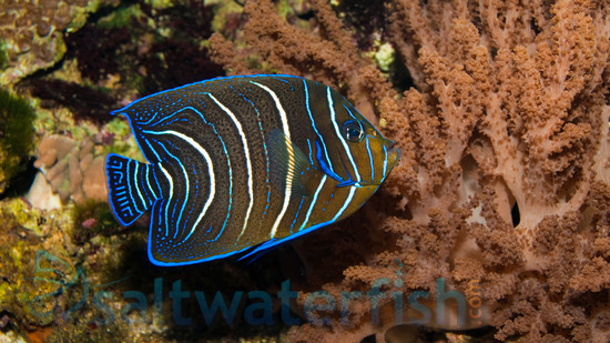 Koran Angelfish Angelfish Large Saltwater Fish