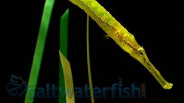 Alligatr Pipefish