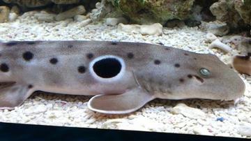 Epaulette Shark - Australia
