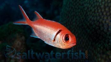 Bigeye Soldierfish
