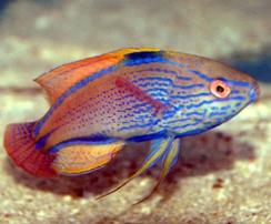 Lineatus Wrasse: Male - Australia