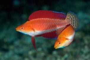 Ruby Finned Fairy Wrasse: Female