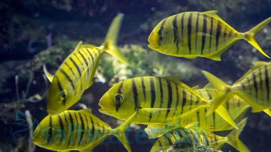 Golden Trevally Pilotfish