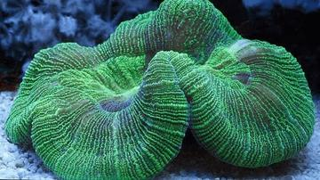 Brain Coral: Green - Australia - Limit 1 Super Special