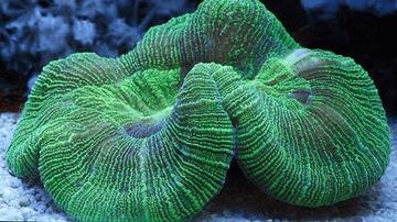 Brain Coral: Green - Australia