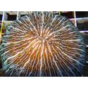 Fungia Coral: Pinwheel - Australia