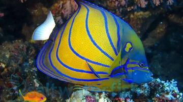Annularis Angelfish - Featured Super Special