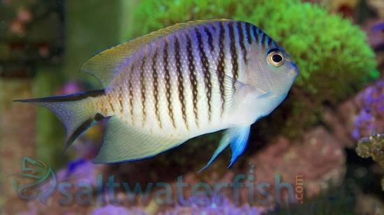 Japanese Swallowtail Angelfish: Female