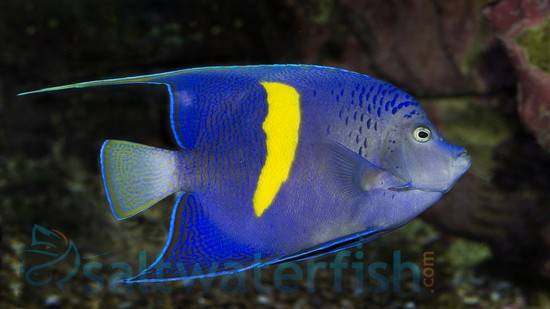 Maculosus Angelfish - Red Sea