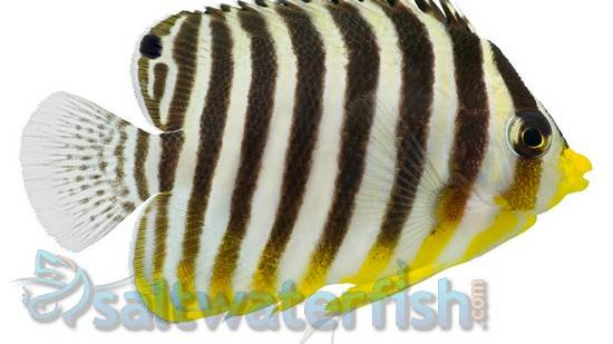 Multi-Barred Angelfish - Marshall Islands