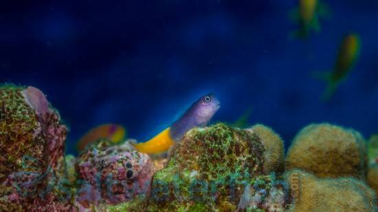 Bicolor Blenny - Female