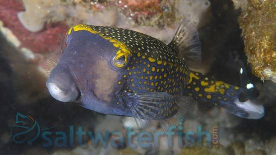 Black Boxfish: Hawaii - Female