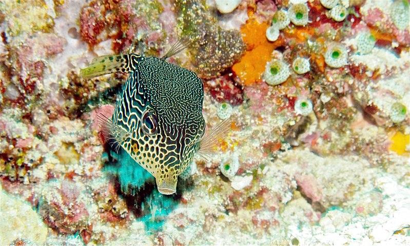 Scribbled Boxfish: Female