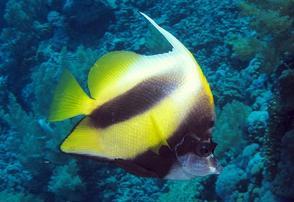 Red Sea Heniochus