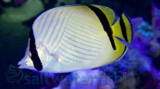 Vagabond Butterfly - Fiji