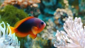 Fire Clownfish- Wild