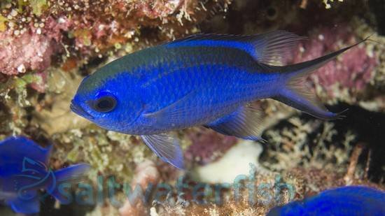 Blue Reef Chromis - Atlantic Ocean