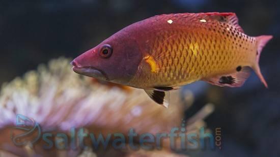 Diana's Hogfish - Juvenile