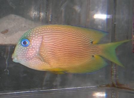 Blue Eyed Tang - Africa