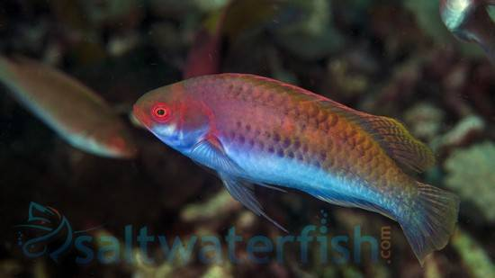 Blue Sided Fairy Wrasse: Male