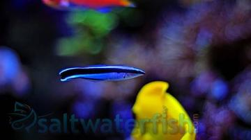 Cleaner Wrasse - Indian Ocean