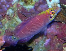 Five Bar Mystery Wrasse - Marshall Islands